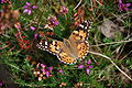 Painted Lady on Heather.jpg