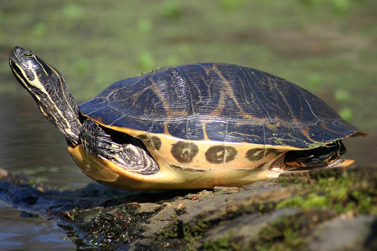 [Image: 1280px-Painted_turtle_f1.jpg]
