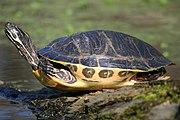 Painted turtle f1.jpg