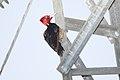 Pale-billed Woodpecker (Campephilus guatemalensis) (5772328180).jpg
