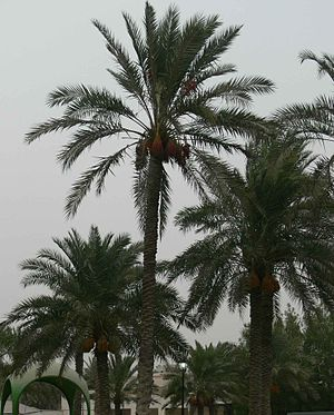 History of Bahrain (1783–1971) - Palm cultivation used to be one of two backbones of the Bahraini economy.