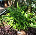 Pandanus amaryllifolius - United States Botanic Garden - DSC09526.JPG