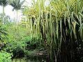 Pandanus baptistii (7374377600).jpg