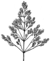 Panicle (PSF).png