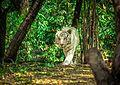Panthera Tigris (White Bengal Tiger).jpg