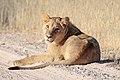 Panthera leo 1M2A5589 (31035994447).jpg