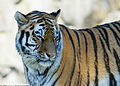 Panthera tigris tigris closing eyes.jpg