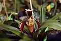 Paphiopedilum villosum 0zz.jpg