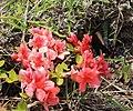 Papilio bianor dehaanii on Rhododendron kaempferi.JPG