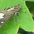 Papilio demoleus freshly emerged 2.jpg