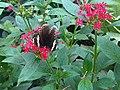 Papilio nireus 1.jpg