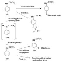 Metabolism of paracetamol (acetaminophen).