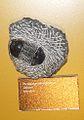 Paralejurus hamlagdadicus.jpg
