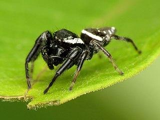 <i>Paraphidippus</i> genus of arachnids