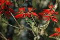 Parque Est Intervales - beija flor em Erytrhina.jpg