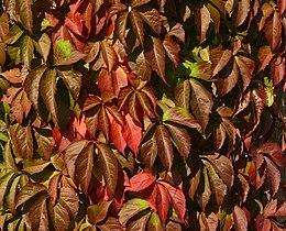 Parthenocissus quinquefolia Gaulsheim 02.jpg