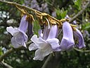 Paulownia By Petr Filippov [CC BY-SA 3.0  (https://creativecommons.org/licenses/by-sa/3.0)], from Wikimedia Commons