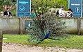 Peacock at Blackpool Zoo (geograph 4022135).jpg