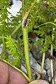Pedicularis julica 10.jpg