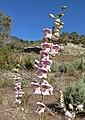 Penstemon palmeri 9.jpg
