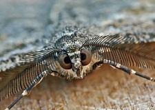 Peribatodes rhomboidaria - male - head macro (2007-09-05).jpg
