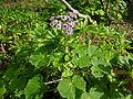 Pericallis webbii (Jardín Botánico Canario Viera y Clavijo).jpg