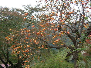 Persimmons in October, Yamagata Prefecture.