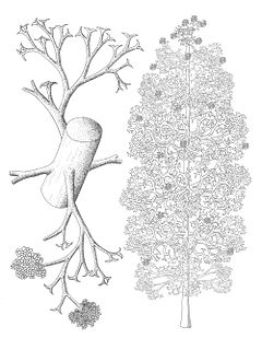 <i>Pertica</i> genus of plants (fossil)