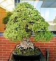 Pescia, museo del bonsai, ulmus campestris, stile moyogi (eretto informale), da europa, circa 40 anni.jpg