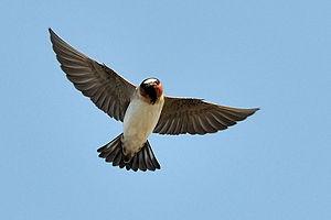American cliff swallow - Image: Petrochelidon pyrrhonota flight Palo Alto Baylands 8