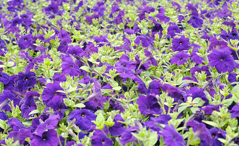 البتونيا الرائعة البتونيا 800px-Petunia2009122