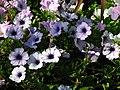 Petunia hybr. 11.JPG