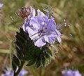 Phacelia tanacetifolia 2003-04-07.jpg