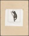 Phalangista ursina - 1838 - Print - Iconographia Zoologica - Special Collections University of Amsterdam - UBA01 IZ20300043.tif