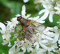 Phaonia valida - Flickr - gailhampshire.jpg