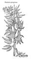 Phaseolus peregrinus 509 Dodoens 1583.png