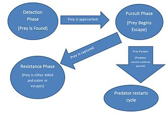 Pursuit predation - Phases of Pursuit Predation