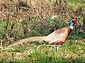 Pheasant (Phasianus colchicus) ♂ (5561685051).jpg