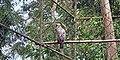 Philippine Eagle at the Philippine Eagle Center 002.jpg