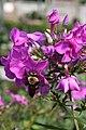Phlox paniculata Blue Paradise 5zz.jpg