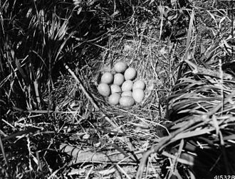 Sharp-tailed grouse - Sharp-tailed grouse nest with eggs