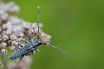Phytoecia nigricornis (31794974202).jpg