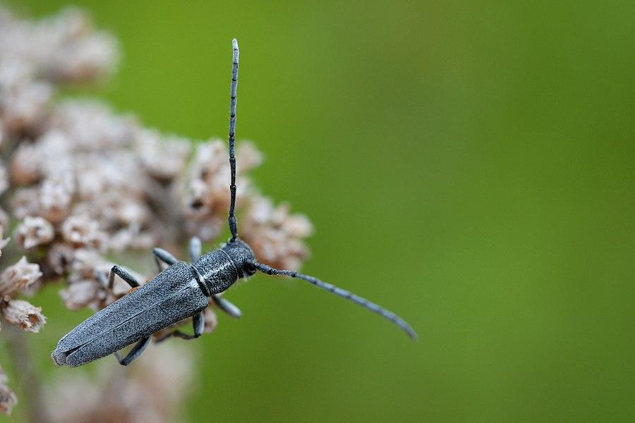 Phytoecia nigricornis