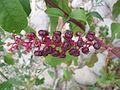 Phytolacca5.jpg