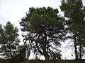 Pi del Quildo, Copons (setembre 2011) - panoramio.jpg