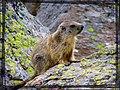 Piccola marmotta curiosa... - panoramio.jpg