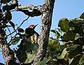 Picidae woodpecker - Mudumalai.jpg