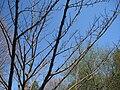 Picrasma quassioides, Mount Auburn Cemetery - 2.JPG