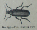 Picture Natural History - No 295 - The Spanish Fly.png