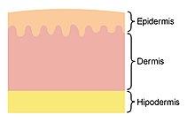 Y piel sus caracteristicas tipos de